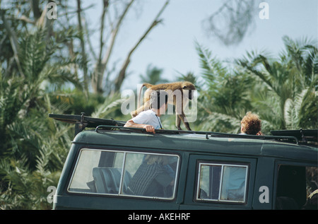 Yellow baboons walking on the roof of a safari vehicle in Amboseli National Park Kenya East Africa - Stock Photo