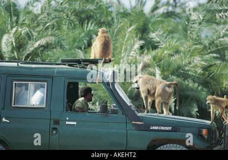 Yellow baboons on a safari vehicle in Amboseli National Park Kenya East Africa - Stock Photo
