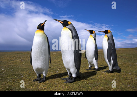 Adult King Penguins courting couples - Stock Photo
