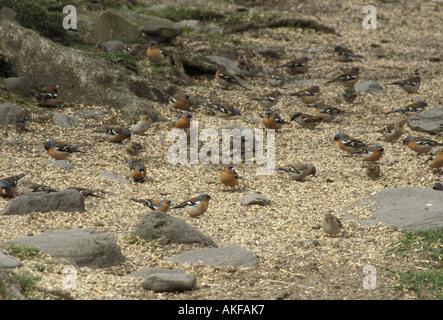 Chaffinches Fringila coelebs Group feeding on grain male female - Stock Photo