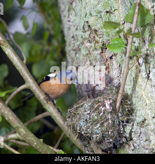 Chaffinch Fringilla coelebs Male at nest with young demanding - Stock Photo