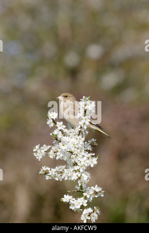 Greenfinch on Blackthorn Blossom - Stock Photo