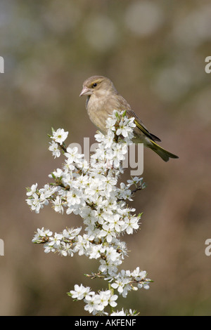 Greenfinch on Blackthorn Blossom 2 - Stock Photo