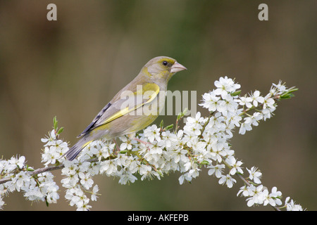 Greenfinch on Blackthorn Blossom 3 - Stock Photo