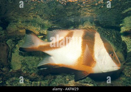 emperor snapper, red emperor, emperor red snapper (Lutjanus sebae), swimming - Stock Photo