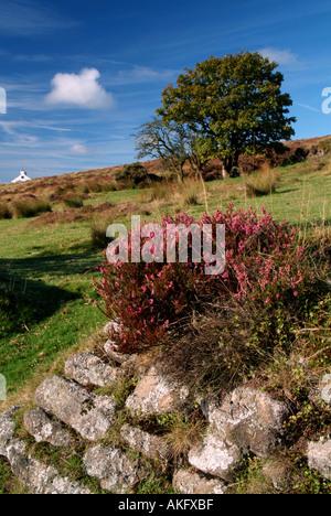 Summer heather on drystone wall Headland Warren Dartmoor Devon UK - Stock Photo