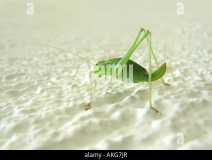 grashopper Grashuepfer - Stock Photo
