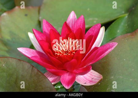 Pink Water Lilly ( Nuphar Lutea) - Stock Photo