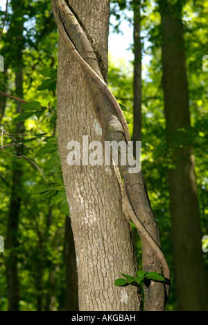 Trunk of a Bald Cypress (Taxodium distichum) with a vine in Congaree National Park, South Carolina, United States - Stock Photo