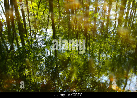 Reflection of a Bald Cypress (Taxodium distichum) forest in swamp water in Congaree National Park, SC, USA. - Stock Photo