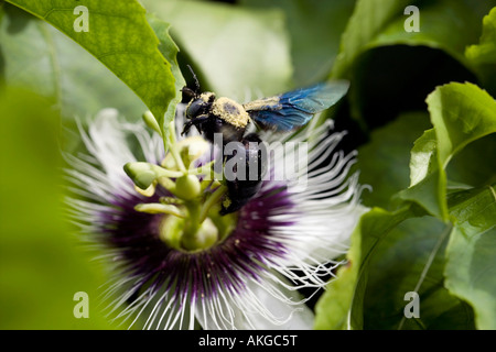carpenter bee covered in pollen on a Passion flower Passiflora Edulis flavicarpa - Stock Photo