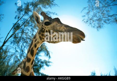 Masai giraffe (Giraffa camelopardalis tippelskirchi), portrait, Kenya - Stock Photo