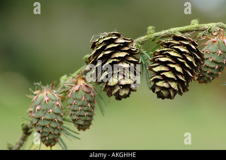 Larch cones - Stock Photo