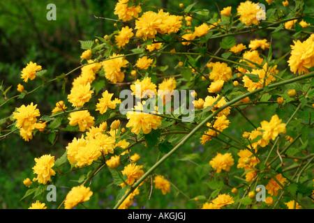 Kerria japonica 'Pleniflora' - Stock Photo