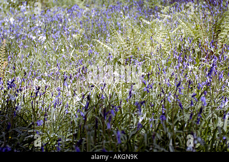 a woodland filled with flowering blue bells in the uk - Stock Photo