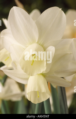 Narcissus 'Ice Wings' AGM (Daffodil) Division 5 Triandrus. Close up of creamy white multi-headed daffodil. - Stock Photo