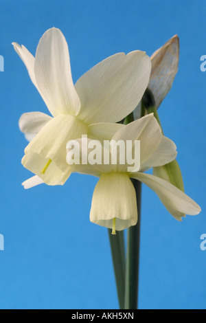 Narcissus 'Ice Wings' AGM (Daffodil) Division 5  Triandrus. Close up of creamy white multi-headed daffodil on blue - Stock Photo
