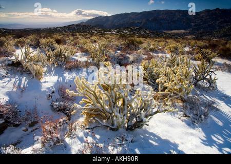 Snow Covered Buckhorn Cholla Opuntia acanthocarpa Anza Borrego Desert State Park Borrego Springs San Diego County - Stock Photo