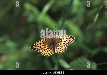 Dark Green Fritillary, Argynnis aglaia - Stock Photo