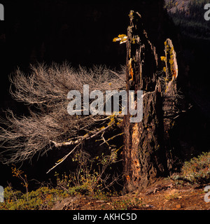 A Broken Off and Decomposed Coniferous Tree Stump in British Columbia Canada - Stock Photo