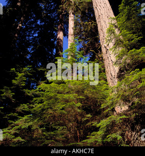A Coniferous Forest on Vancouver Island along the Pacific West Coast of British Columbia Canada - Stock Photo