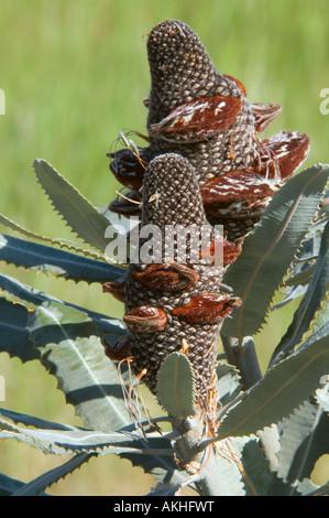 Firewood Banksia (Banksia menziesii) fruiting cone, developing follicles, Banksia Farm, Mt. Barker, Western Australia - Stock Photo