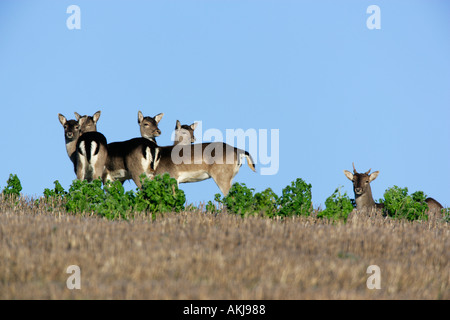 Fallow Deer Dama dama small group of does on stubble with blue sky background - Stock Photo
