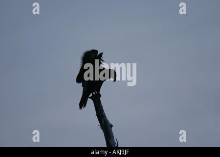 Silhouette of a bald eagle - Stock Photo