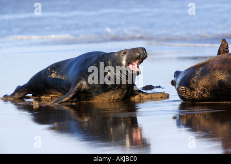 Grey Seal Halichoerus grypus Bull with mouth open at waters edge donna nook lincolnshire - Stock Photo
