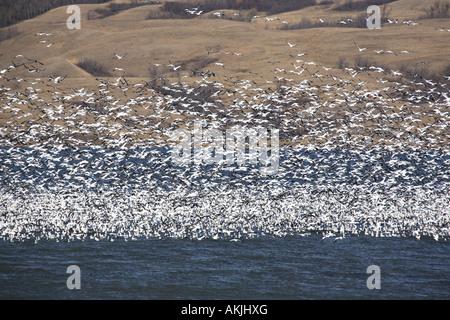 Huge flock of Snow Geese on Buffalo Pound Lake - Stock Photo