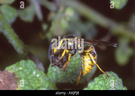 Common Wasp, Vespula vulgaris. Worker capturing a prey - Stock Photo