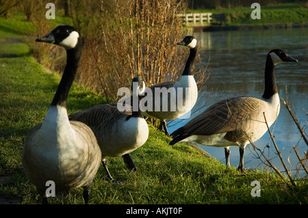 Group of Canada Geese standing near the edge of a lake - Stock Photo