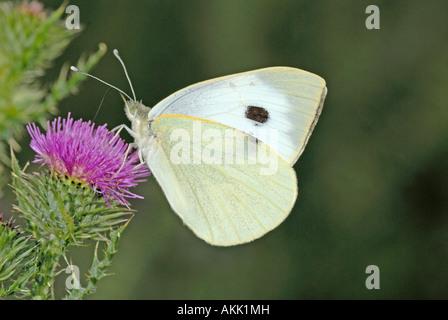 Large White (Pieris rapae) sucking nectar from flowering Thistle (Cirsium sp.)