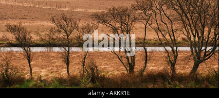 Row of Trees in Connemara Western Ireland County Galway Europe - Stock Photo