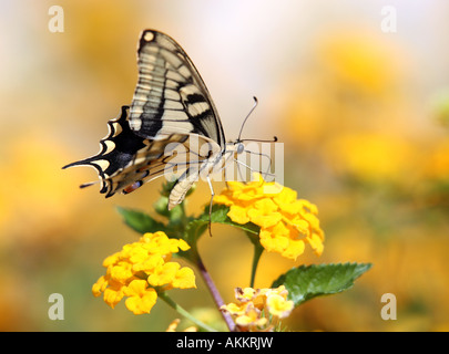 Swallowtail butterfly Papilio machaon feeding photographed on the southern Greek island of Crete - Stock Photo