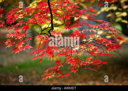 Autumn foliage colours of Japanese acer maple at Westonbirt Arboretum, Tetbury, Gloucestershire, England, UK - Stock Photo
