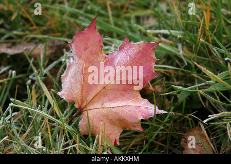 A red maple leaf laying in the grass with ice crystals on it - Stock Photo