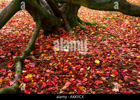 A carpet of autumn acer maple leaves around the base of a tree trunk in Westonbirt Arboretum, Tetbury, Gloucestershire, - Stock Photo