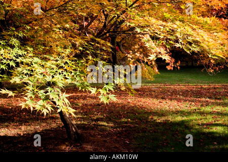 Golden autumn foliage of a Japanese acer maple at Westonbirt Arboretum, Tetbury, Gloucestershire, England, UK - Stock Photo