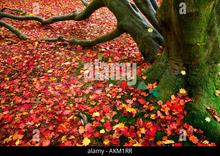 Fallen red acer autumn leaves at the foot of a tree trunk in Westonbirt Arboretum, Tetbury, Gloucestershire, England, - Stock Photo