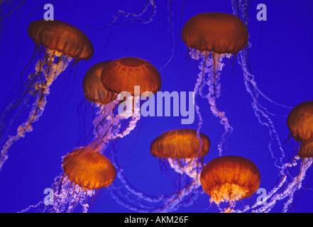 SEA NETTLES JELLYFISH (Chrysaora fuscecens) Monterey Bay Aquarium, California USA - Stock Photo