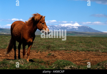 PICTURE CREDIT DOUG BLANE Horse in Iceland - Stock Photo