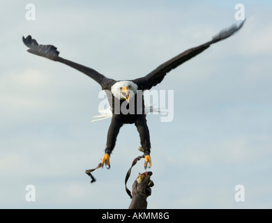 Bald Eagle Haliaeetus leucocephalus - Stock Photo