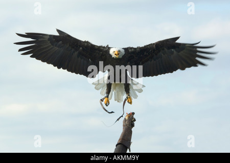 Bald Eagle Haliaeetus leucocephalus flies back to handler waiting with a dead chick - Stock Photo