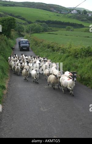herding sheep along a country lane near Torr Head, County Antrim, Northern Ireland - Stock Photo