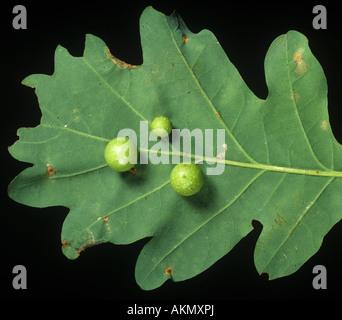 Oak leaf cherry gall cynipid Cynips quercusfolii gall on young oak leaf in spring - Stock Photo