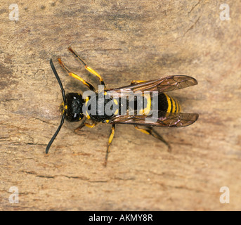 Potter wasp Odynerus spinipes adult on timber - Stock Photo
