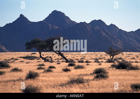 Scrub and acacia tree landscape en route to Sossusvlei Namib Naukluft National Park Namibia Early morning - Stock Photo