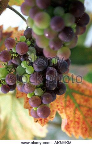 Vitis vinifera grape vine Black grapes foliage - Stock Photo
