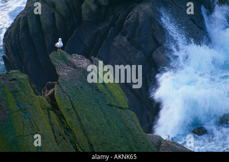 seagull with waves breaking on the rocks Porthguamon Cornwall England UK - Stock Photo